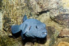 Guineafowl Puffer (Arothron meleagris) Royalty Free Stock Image