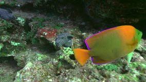 Guineafowl puffer Arothron meleagris and Clarion Angelfish Holacanthus clarionensis in El Doiler rock near Sanbenedicto island stock video