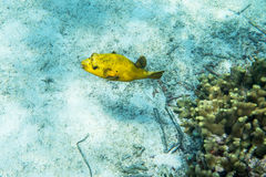 Guineafowl puffer. Arothron meleagris  swimmming around the reef Stock Photo