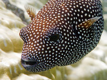 Guineafowl puffer Macro. Here is a macro of a polynesian Guineafowl puffer fish Stock Photos