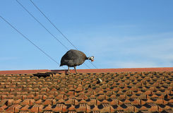 Guineafowl on the roof. A guineafowl on the roof Royalty Free Stock Image