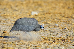 Guineafowl scratching in the dust. In Botswana Royalty Free Stock Photos