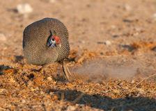 Guineafowl scratching for food. Characteristic horny casque on head, red cap and blue neck. Very common. Wide distribution. Wide habitat tolerance. Ground feeder Stock Image