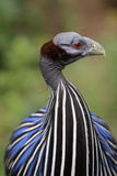 guineafowl vulturine Стоковые Изображения RF