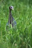 guineafowl vulturine Стоковые Изображения