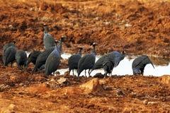 Guineafowl Vulturine em um Waterhole Fotografia de Stock Royalty Free