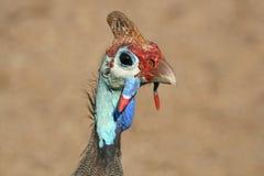guineafowl w kasku Obraz Royalty Free
