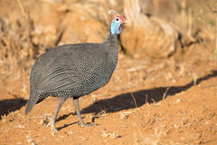 Guineafowl walking in the sun on dry earth looking for food Stock Image