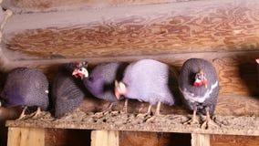 Guineafowls muniti di casco che si siedono al posatoio video d archivio