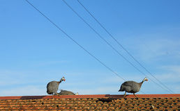 Guineafowls on the roof Stock Photos