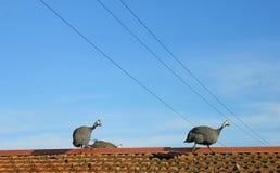Guineafowls sul tetto Fotografie Stock