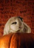 guineahalloween pig royaltyfri foto
