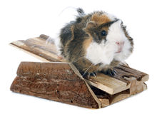 Guineal pig Royalty Free Stock Images