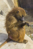 Guinean Baboon grooming itself Royalty Free Stock Photography