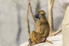 Guinean Baboon looking away. At Paris Zoological Park stock photo
