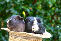 Guineapig In The Hat Royalty Free Stock Image