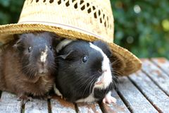Guineapig In The Hat Stock Photo