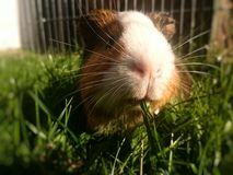 Guineapig Royalty Free Stock Photos