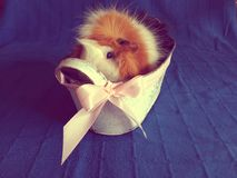 Guineapig model Royalty Free Stock Image
