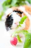 Guineapig stock images