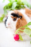 Guineapig Stock Photo