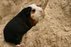 A guinee pig Stock Images