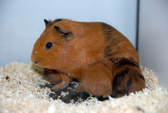 Guineea pig Stock Image