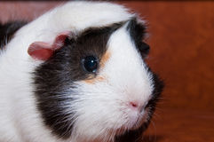 Guineea Pig Portrait Stock Photography