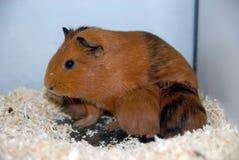 Guineea-Schwein stockbild