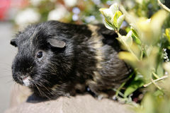 Guines pig Stock Image