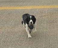 Guinzaglio di trasporto della strada dell'incrocio del cane fotografie stock libere da diritti