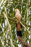 Guira在树枝的杜鹃鸟 免版税图库摄影