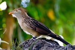 Guira杜鹃鸟的一个醒目的特写镜头姿势 库存照片