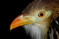 Guira cuckoo Royalty Free Stock Photos