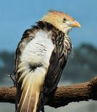 Guira Cuckoo Guira guira. The guira cuckoo Guira guira is a cuckoo found widely in open and semi-open habitats of eastern and southern Brazil, Uruguay, Paraguay stock image