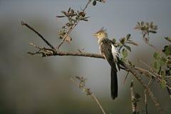 Guira cuckoo, Guira guira Stock Photo