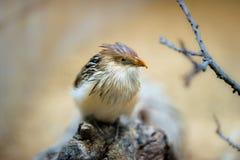 Guira cuckoo (lat. Guira guira) Stock Photography