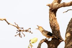 Guira Cuckoo. Lets the neighbourhood know he`s home Stock Image