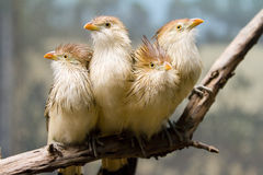 Guira Cuckoo. Picture of some Guira Cuckoo royalty free stock image