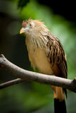 Guira Cuckoo at rest on a branch Stock Image