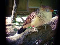 The guira cuckoo Royalty Free Stock Images