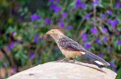 Κούκος Guira (guira Guira), νότος - αμερικανικό πουλί Στοκ φωτογραφία με δικαίωμα ελεύθερης χρήσης