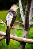 Guira kukułki ptak Zdjęcie Stock