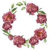 Guirlande d'aquarelle avec la pivoine et la verdure Composition florale peinte à la main avec des fleurs et des feuilles d'isolem Images libres de droits