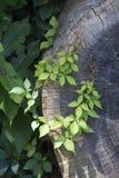 Guirlande de lierre sur un arbre de coupe Photos libres de droits