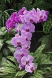 Guirlande des fleurs roses d'orchidée, parmi une serre chaude Photo libre de droits