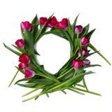 Guirlande des tulipes de framboise sur le fond blanc Image stock