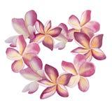Guirlande rose de plumeria Illustration botanique florale d'aquarelle de coeur Pour épouser, invitation, valentines Amour de vue illustration libre de droits
