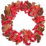 Guirlande rouge de baie d'arbre de boule de neige d'isolement sur le blanc Images libres de droits