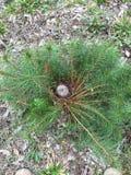 Guirlandes de pin Photo libre de droits